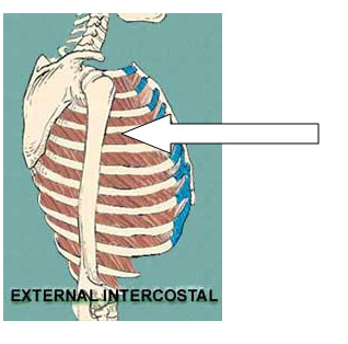 12_external_intercostal