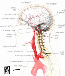頸部的構造1