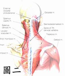 頸部的構造2
