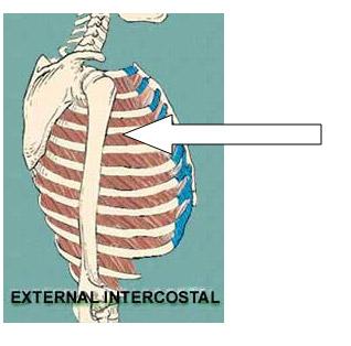 12_external_intercostal